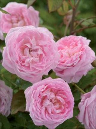The Queen Anne Rose