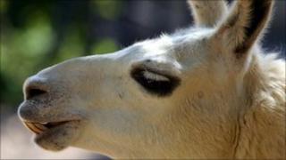Llama picture generic