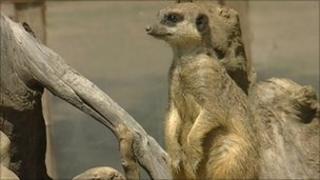 Meerkat at Wingham Wildlife Park