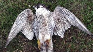 Shot peregrine falcon