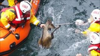 The deer being rescue by the RNLI