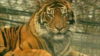 Generic tiger
