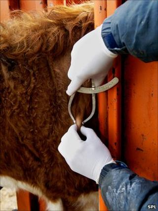Cow being screened for TB
