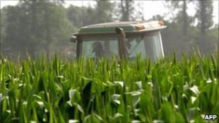 Corn crop in Mississippi
