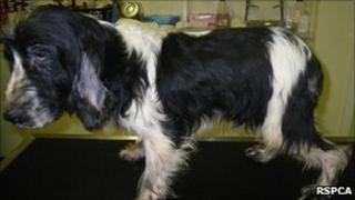 Jack, abandoned spaniel