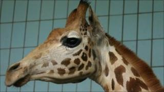 Harriet the giraffe at Twycross Zoo in Leicestershire