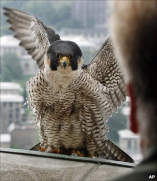 Peregrine falcon (Image: AP)
