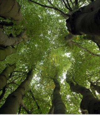 Multi-stemmed beech tree (Image: Emma Murtagh)