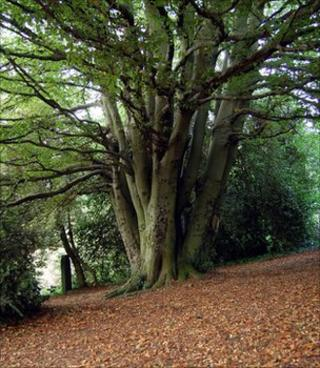 Beech tree (Image: Emma Murtagh)