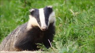 A badger, Other
