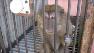 Macaque monkey in a cage