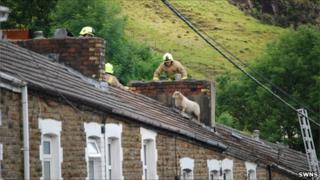 Sheep on roof with firemen