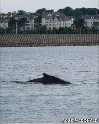 Humpback whale surfacing in Bangor harbour