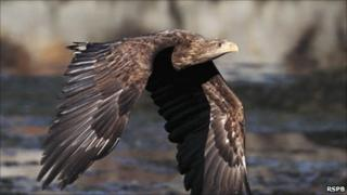 White-tailed eagle - courtesy of RSPB