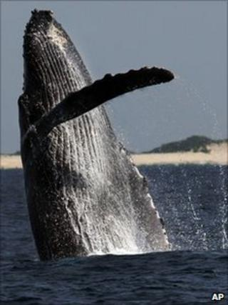 Humpback whale breaching off Japan