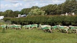 The spray-painted sheep