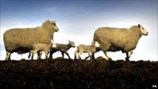 Sheep in Scottish Borders