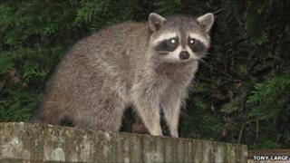 Raccoon spotted by Tony Large in his garden in Eastleigh