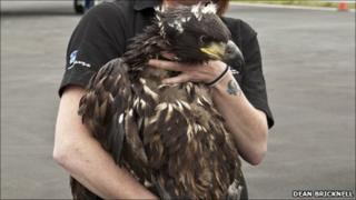 Sea eagle arriving in Scotland/Pic: Dean Bricknell
