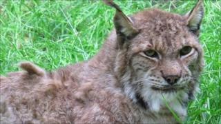 Frank the Eurasian lynx