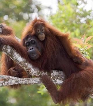 Orangutan and baby (Image: PA)