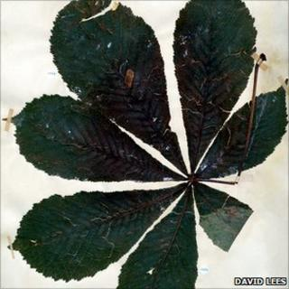 Horse chestnut leaf from Kew's herbarium (Image: David Lees)
