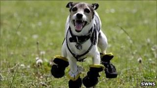 Jax Jack Russell Terrier