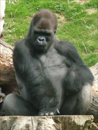 Ya Kwanza the gorilla at Jersey's Durrell Wildlife Park