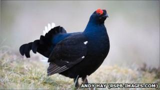 A black male black grouse