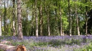 Bluebells at Staffhurst Wood (G Sweetnam)