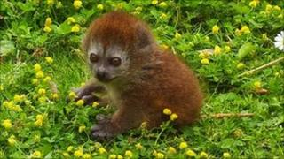Baby lemur at Marwell Zoo