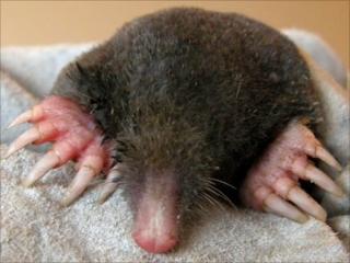 Talpid Mole (Credit; C. Mitgutsch/Zurich)