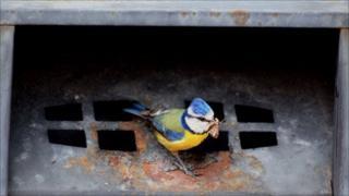 Blue tit at bin. Pic: Jason Thorpe