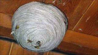 Wasp nest on loft ceiling