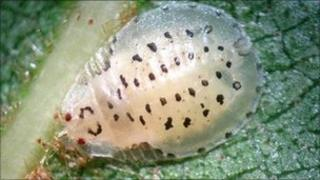 Aphid nymph - Crypturaphis grassii