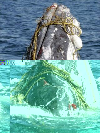 Humpback whale entangled in net