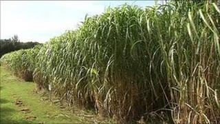 Elephant grass growing in a field in Northern Ireland