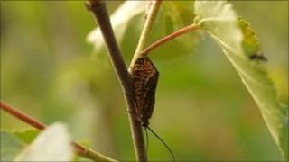 Window-winged caddis fly