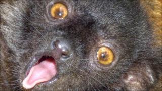 Baby black lemur