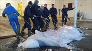 A whale carcass is dragged into the processing plant at Havlur
