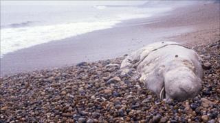 Dead whale