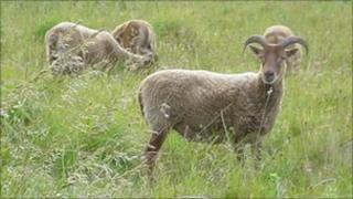 Rare breed Castle Milk Moorit sheep in a field in Redmarley, Gloucestershire