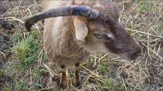 A rare breed Castle Milk Moorit sheep in Gloucestershire