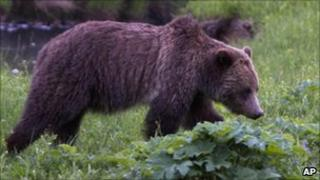A grizzly bear walking in a field