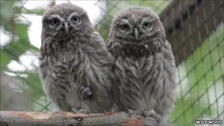 Little owls at Wildwood