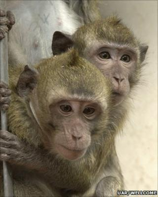 Macaques (UAR/Wellcome Trust)