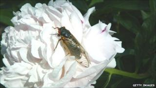 Cicada with 17-year life cycle