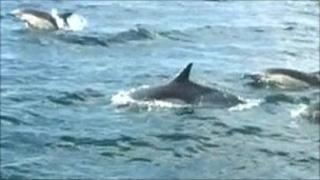 Dolphins off the west coast of Cornwall