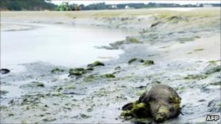 A dead wild boar lies in a cove in the bay of Saint-Brieuc in the Morieux commune on July 26, 2011