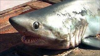 Porbeagle shark (generic pic)